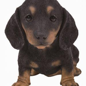 PP Black/Brown Dachshund Puppy F
