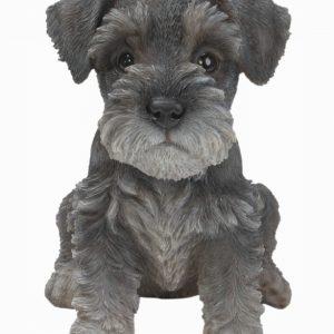 PP Min Schnauzer Puppy F