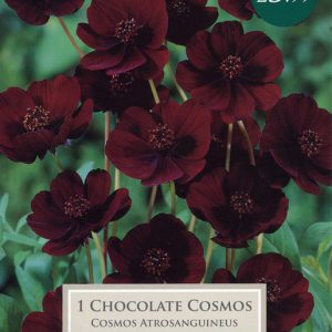 1 CHOCOLATE COSMOS