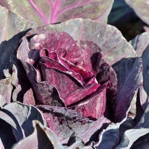 Cabbage Red Plants