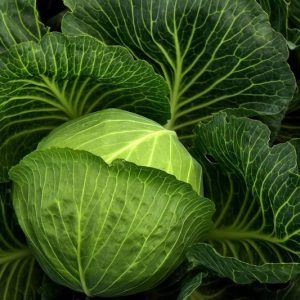 Cabbage Round Plants