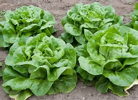 Butterhead Lettuce Plants