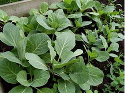 Cabbage Spring Plants