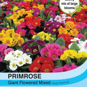 Primrose T&M Special Giant Flowered Mixed